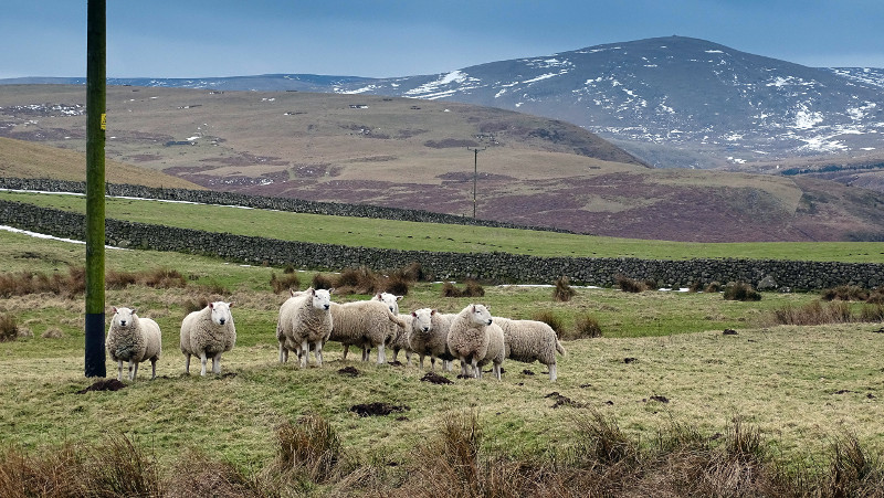 sheep in Northumberland National Park