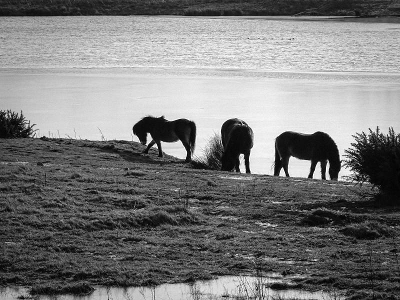 Exmoors at Branton Lakes