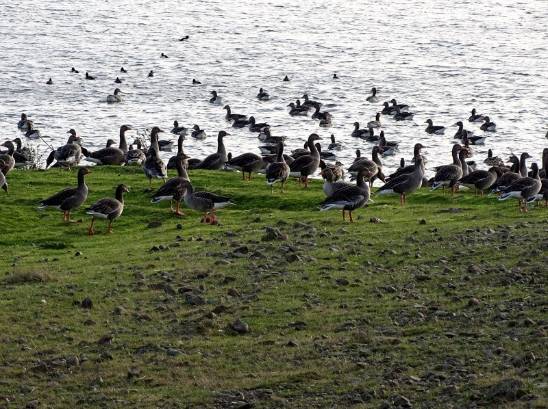 Greylags at Branton Lakes