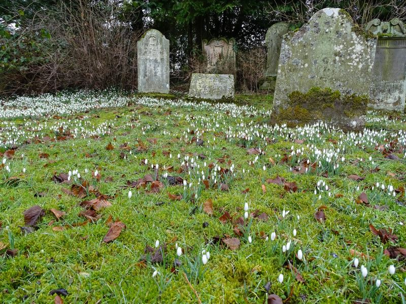 Churchyard snowdrops in the Breamish Valley