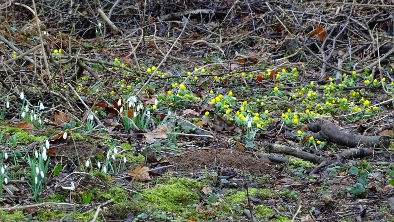 Snowdrops and aconites in the Breamish Valley of Northumberland
