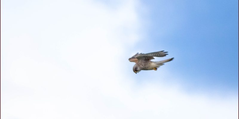 Hovering kestrel at Branton
