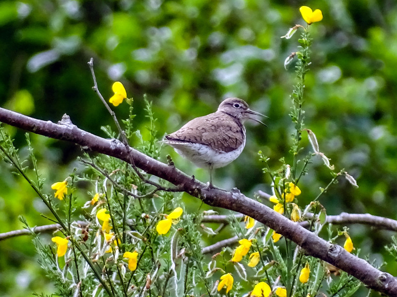 Sandpiper on branch in Breamish Valley