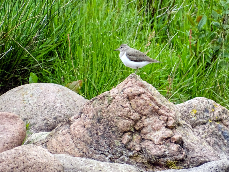 Sandpiper on rocks in Breamish Valley