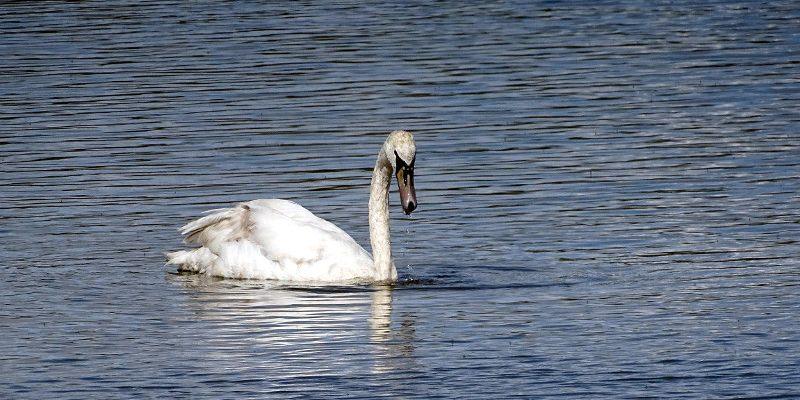 Branton Lakes swans