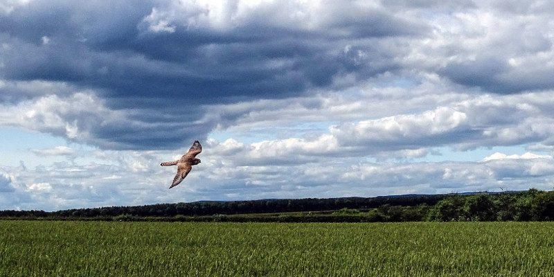 Hauxley Nature Reserve: kestrel sighting