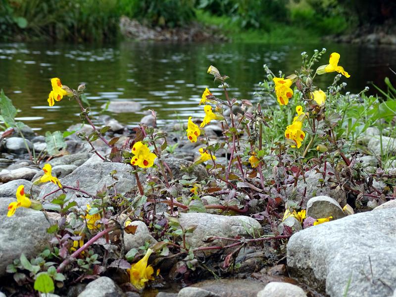 Mimulus still flowering