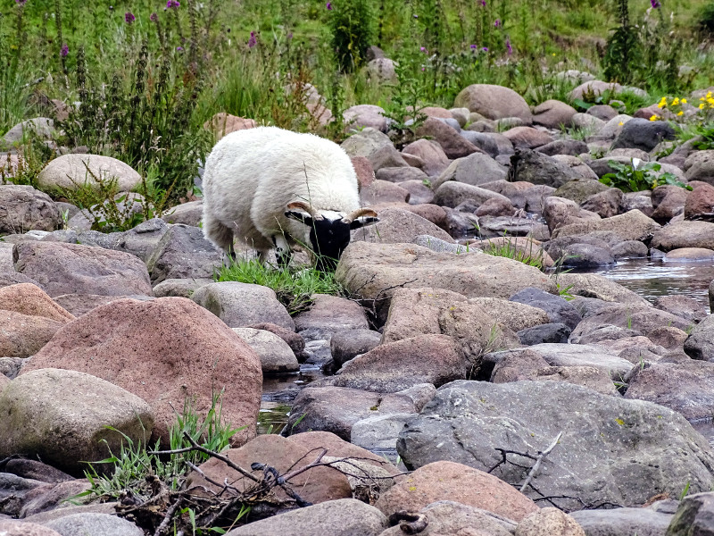 Sheep amongst the cobbles