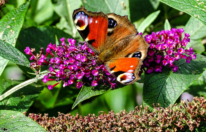 Late Summer butterflies in  the Breamish Valley