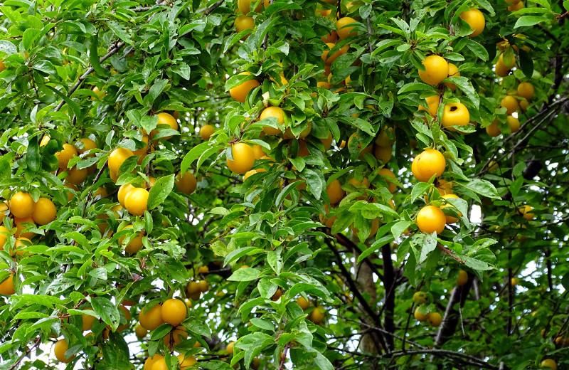 Mirabelle plum tree