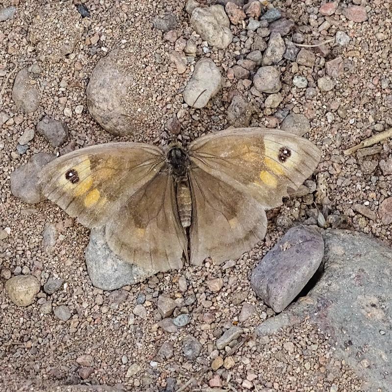 butterfly alongside River Breamish