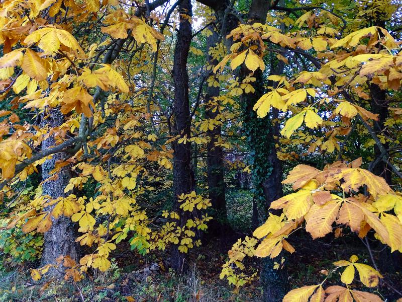chestnut trees at Powburn