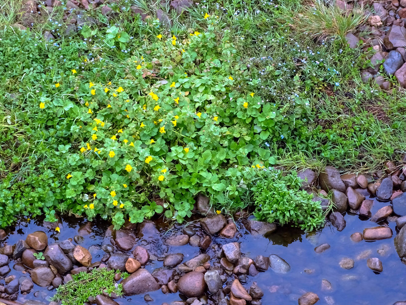mimulus still flowering in October