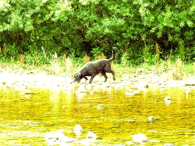 river labrador 1