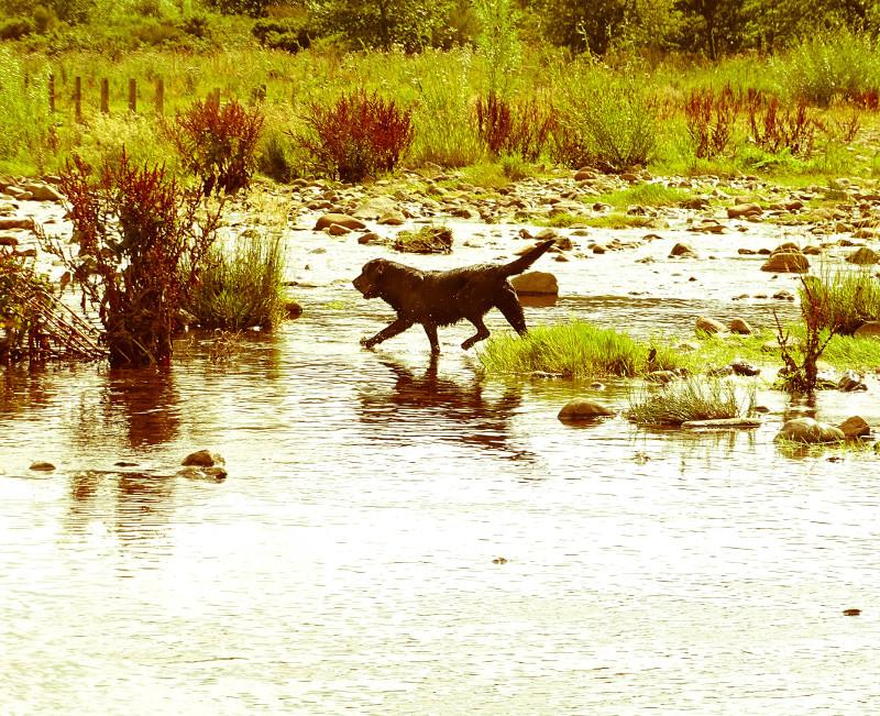 river labrador 3