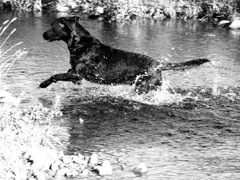 river labrador 4