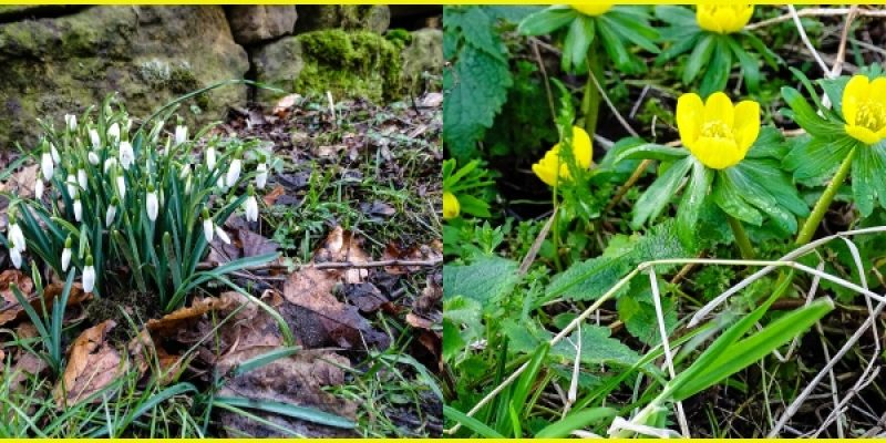 Snowdrops and aconite