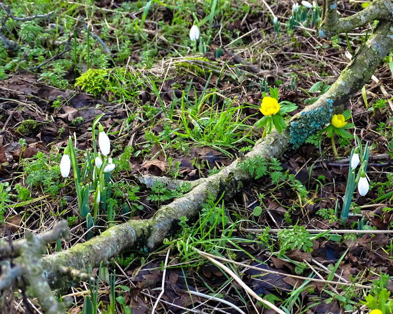snowdrops and aconite with branch