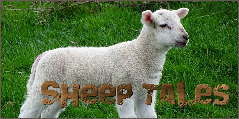 Sheep Tales 2016