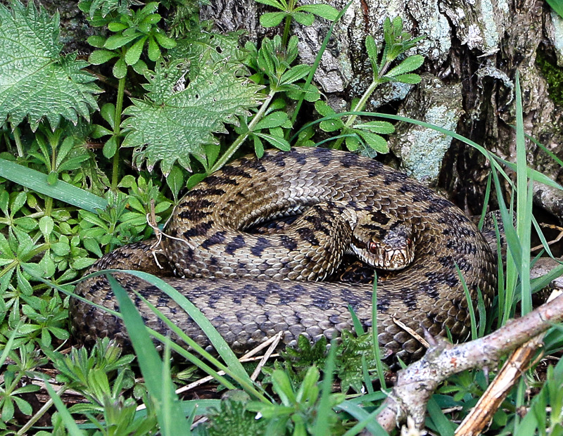 Adders still basking in the Breamish Valley