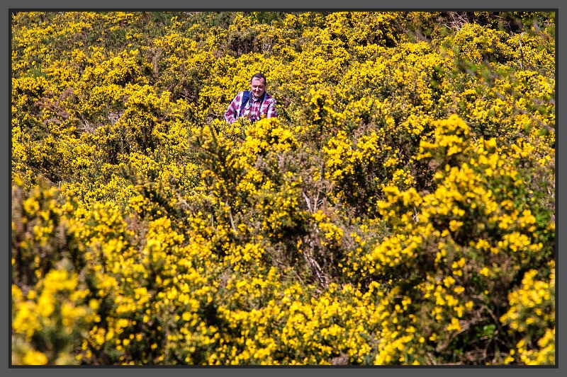 Lost in gorse in Harthope Valley Spring 2016