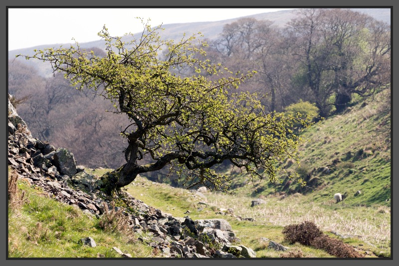 Solitary tree in Harthope Valley Spring 2016