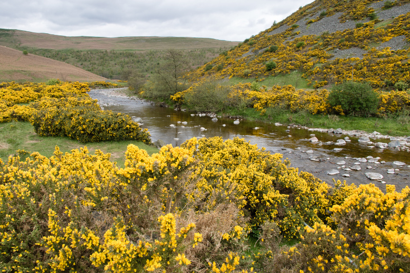 gorse in Breamish Valley