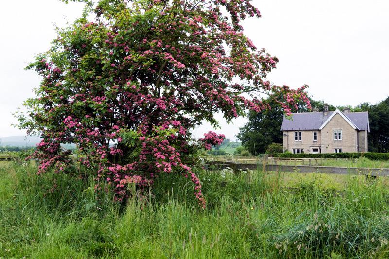 pink hawthorn at Powburn