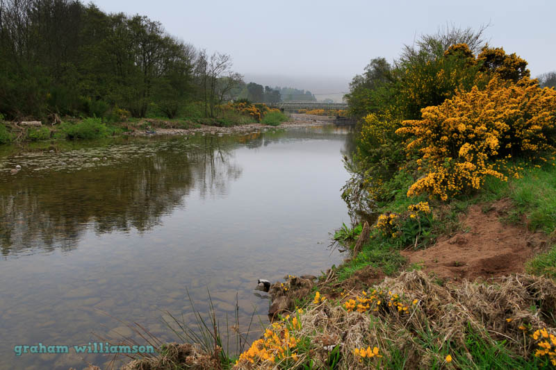 yellow gorse along River Breamish