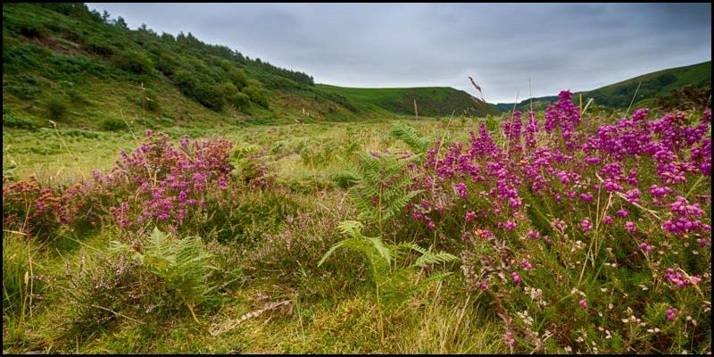All around is blooming heather