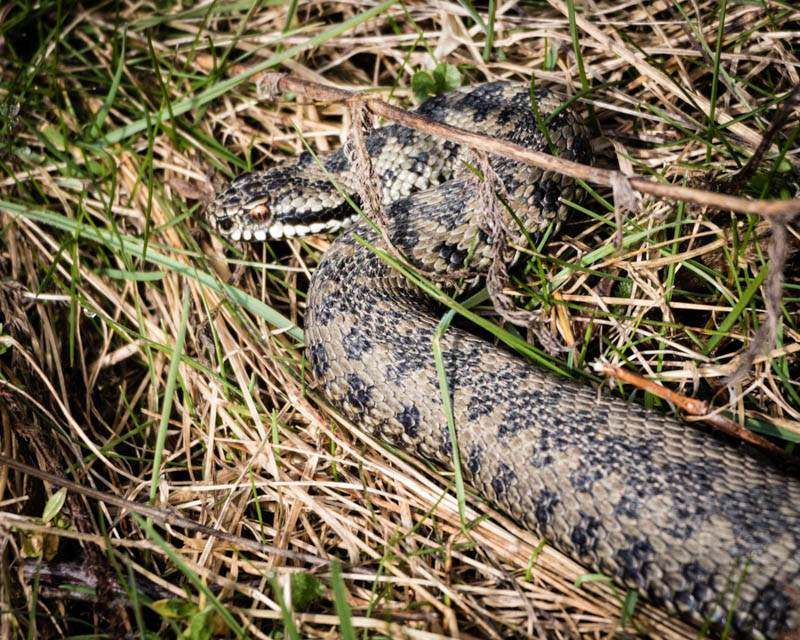early adder at Branton Northumberland