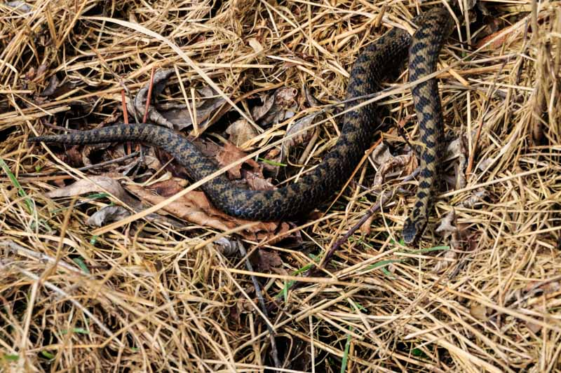adders on sunny side (3P8A6402) active