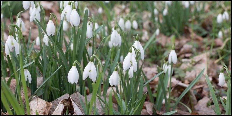 Northumberland Snowdrops