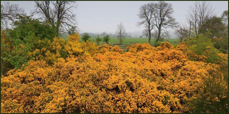 Yellow gorse