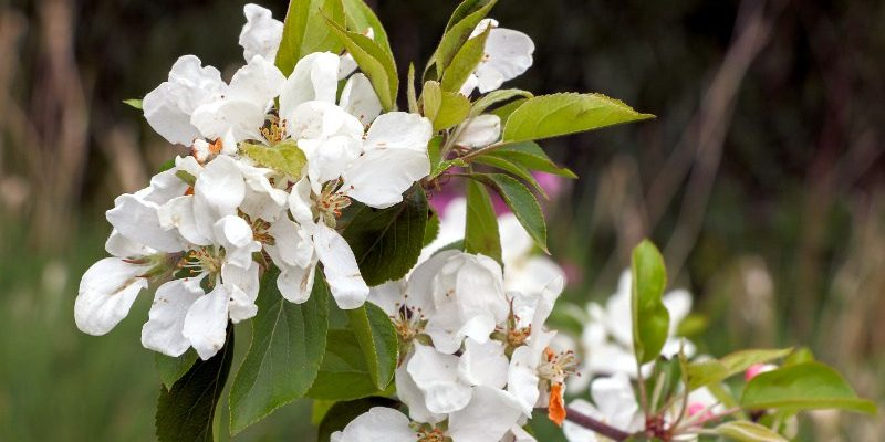 Crab apples flowering in Community Garden