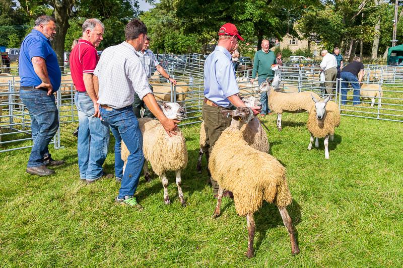 Sheep showing at Ingram Show