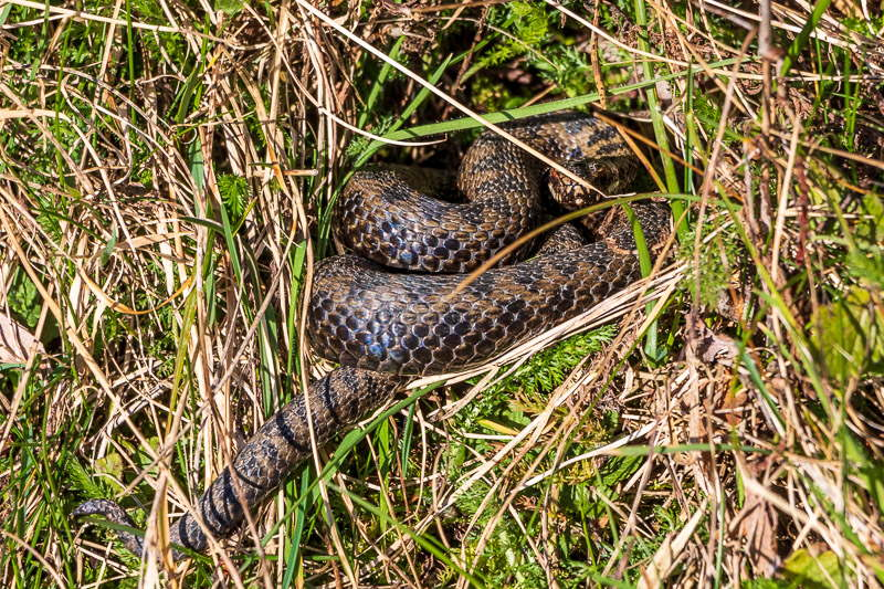 Early basking adder