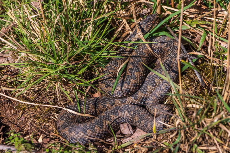 Adder at Branton Nature Reserve