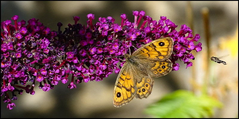 Wall Brown butterfly on buddleia