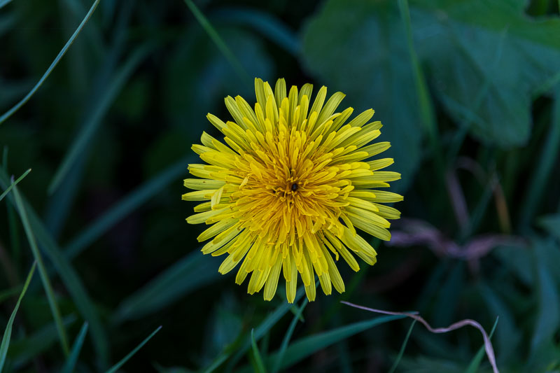 Get the low down on dandelions