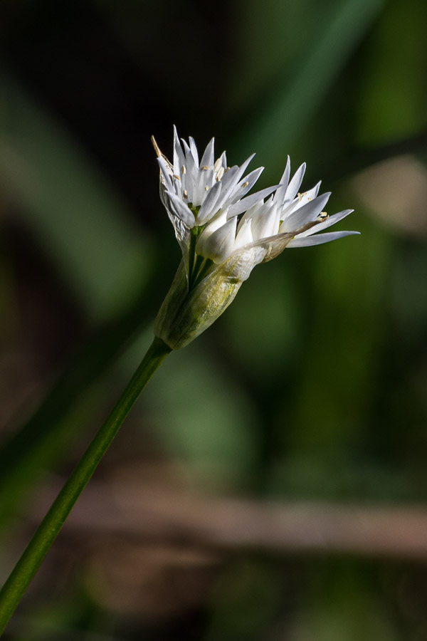 get the lowdown on wild garlic