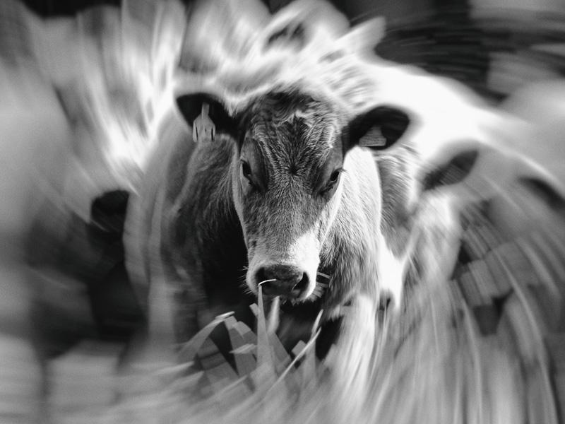 here we go round the Branton cow