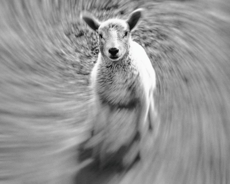 here we go round the Powburn lamb