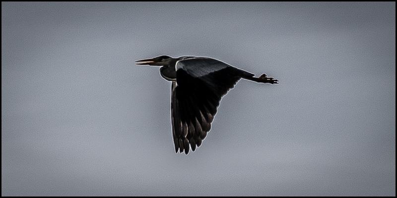 photo of heron in flight