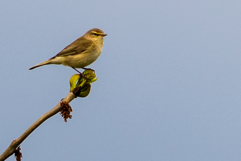 Breamish Valley chiffchaff