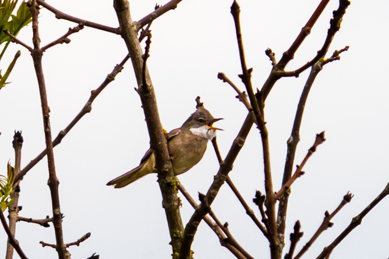 Breamish Valley whitethroat