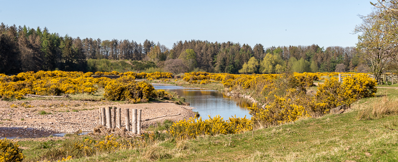 Gorse along a bend in the River Breamish