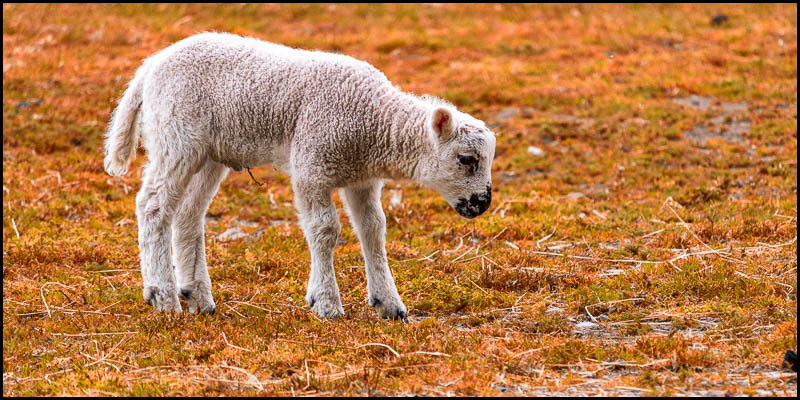 Colourised photo of lamb standing in field