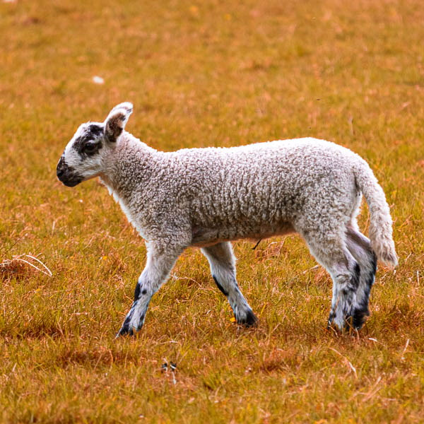 artful lamb walking