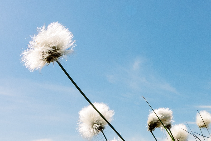 Head of cotton grass